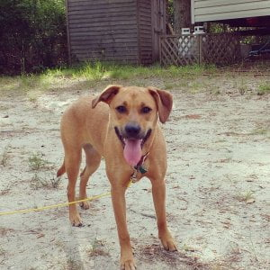 This is Rugby a rescue from Georgia.  Rugby is a seasonal camper at Sea Pirate C…